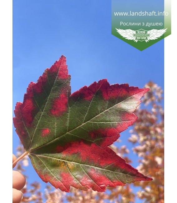 Acer rubrum 'Sun Valley', Клен красный 'Сан Вэлли' окрас листвы.