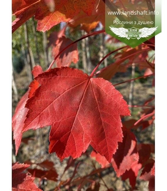 Acer rubrum 'Brandywine', Клен красный 'Брендивайн' окрас листвы осенью.