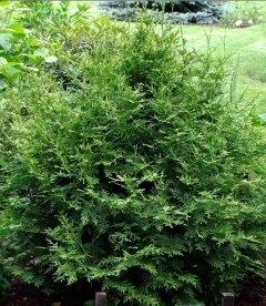 Thuja occidentalis 'Aureospicata', Туя западная 'Ауреоспиката'