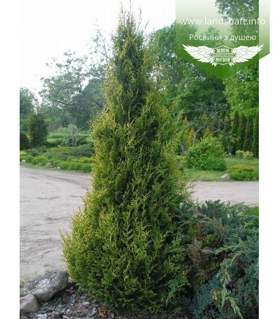 Thuja occidentalis 'Aureospicata', Туя західна 'Ауреоспіката'