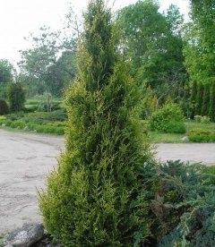 Thuja occidentalis 'Aureospicata' Туя западная