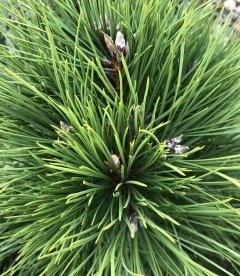 Pinus nigra austriaca Сосна черная австрийская хвоя.