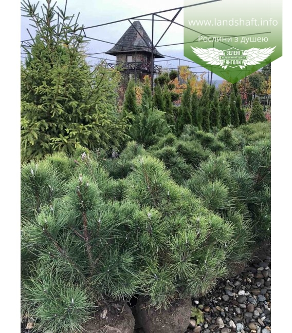 Pinus nigra var. austriaca, Сосна чорна 'Аустріяка' з розсадника.