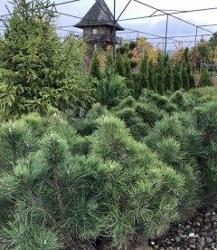 Pinus nigra austriaca Сосна черная австрийская с питомника.
