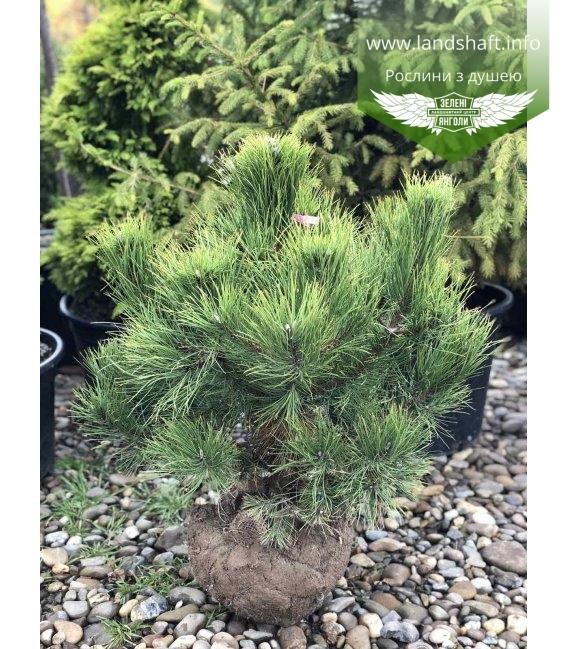 Pinus nigra var. austriaca, Сосна чорна 'Аустріяка' з розсадника WRB 60-80см..