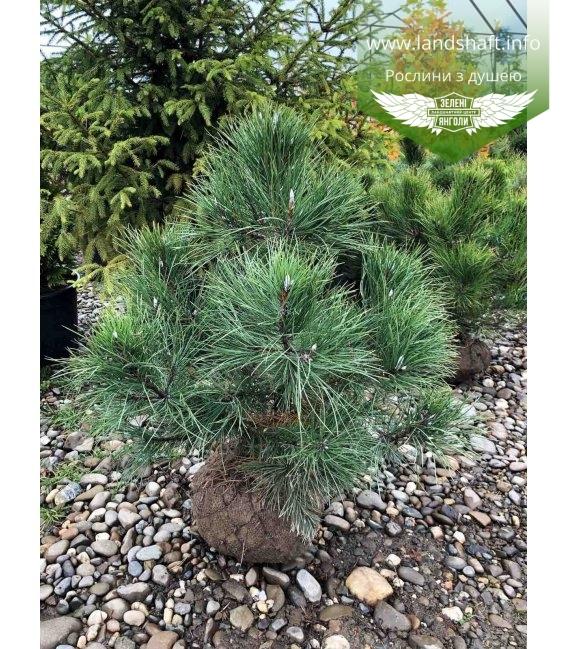 Pinus nigra var. austriaca, Сосна чорна 'Аустріяка' з розсадника з кореневим комом WRB 80-100см.