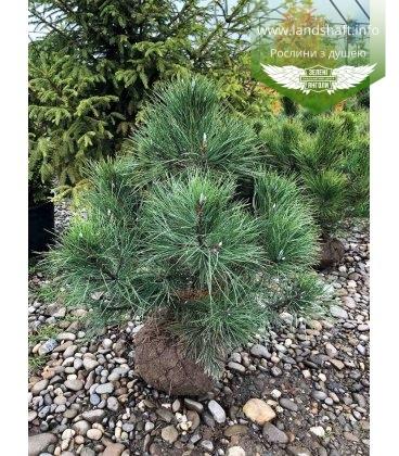 Pinus nigra austriaca Сосна черная австрийская с питомника с корневым комом WRB 80-100см.