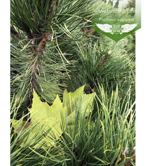 Pinus nigra var. austriaca, Сосна чорна 'Аустріяка' восени.
