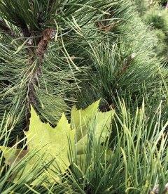 Pinus nigra austriaca Сосна черная австрийская осенью.