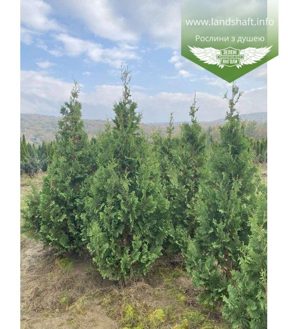 Thuja occidentalis 'Spiralis' Туя западная растение с корневым комом WRB 180-200см