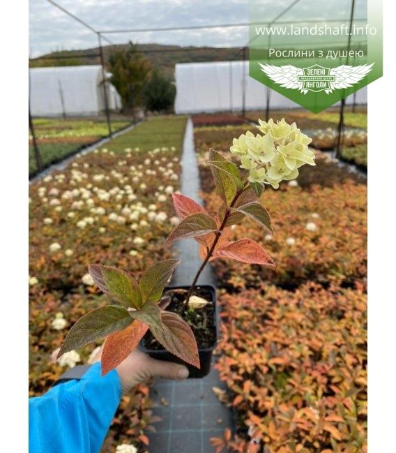 Hydrangea paniculata 'Magical Candle' Гортензия метельчатая 'Мэджикэл Кэндл' в горшке р9.