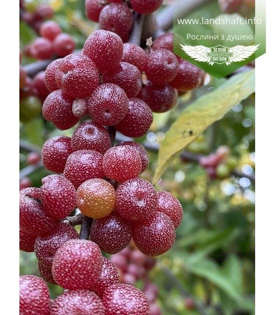 Elaeagnus umbellata, Маслинка зонтична плоди восени.