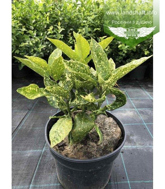 Aucuba japonica, Аукуба японська в горщику 5л.