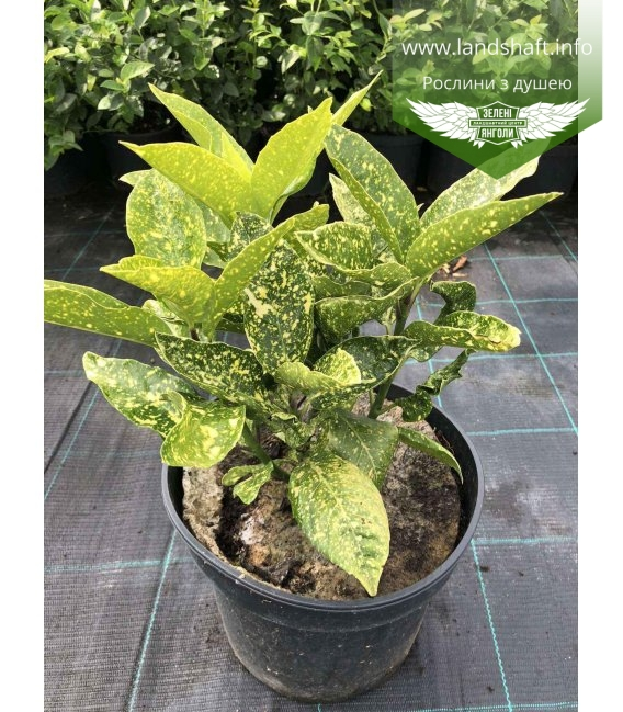 Aucuba Аукуба растение осенью.