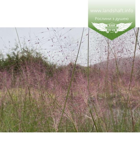 Muhlenbergia capillaris, Мюленбергія волосовидна с питомника.