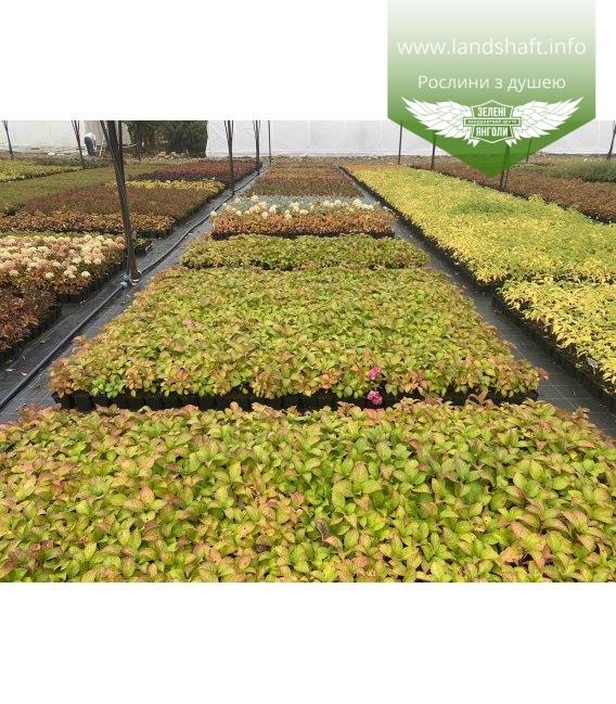 Hydrangea macrophylla 'Endless Summer Bloom star', Гортензія крупнолиста 'Ендлес Самер Блум Стар' с питомника оптом.
