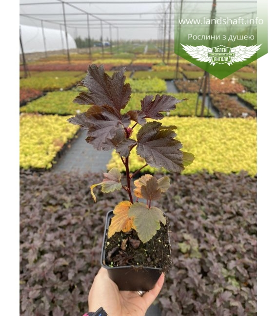 Physocarpus opulifolius 'Schuch', Пухироплідник калинолистий 'Шух' в горщику Р9.