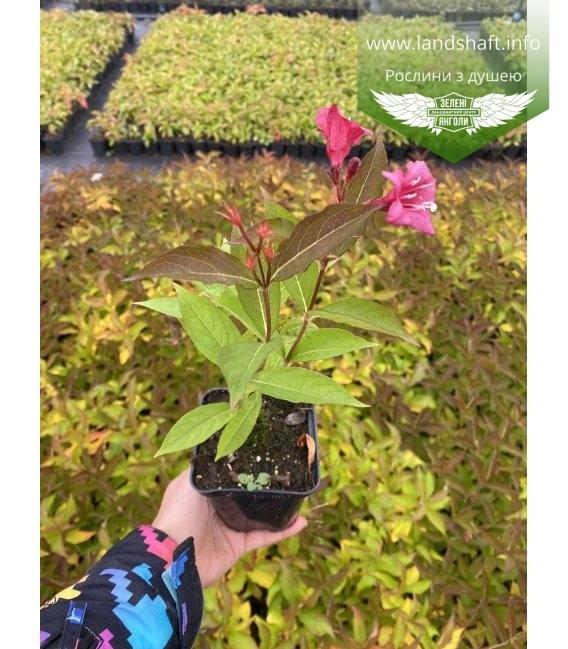 Weigela florida Вейгела цветущая красная в горшке Р9.