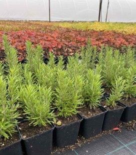 Rosmarinus officinalis 'Speedy', Розмарин звичайний 'Спіді'