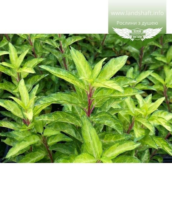 Forsythia x intermedia 'Fiesta', Форзиция средняя 'Фиеста' окрас листьев осенью.