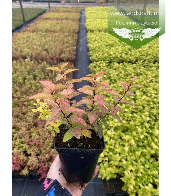 Spiraea japonica 'Goldflame', Спірея японська 'Голдфлейм' в горщику Р9.