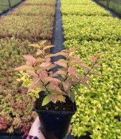 Spiraea japonica 'Goldflame' Спирея японская в горшке Р9.