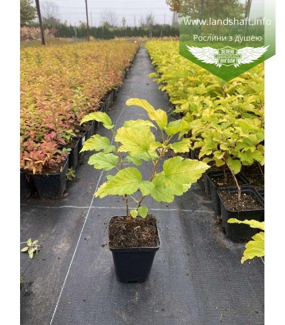 Physocarpus opulifolius 'Angel Gold', Пухироплідник калинолистий 'Ейнджел Голд' з доставкою по Україні.