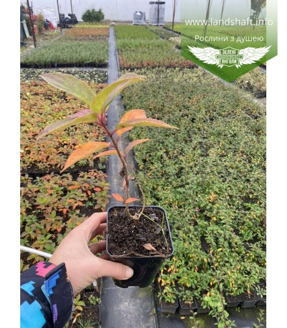 Hydrangea paniculata 'Limelight', Гортензія волотиста 'Лаймлайт' в горщику Р9.