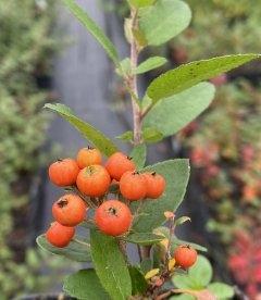 Pyracantha coccinea 'Orange Glow', Піраканта яскраво-червона 'Оранж Глоу' плоди рослини восени.