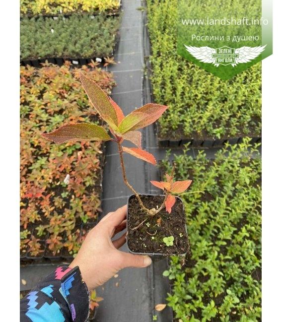 Hydrangea paniculata 'Magical Sweet Summer', Гортензия метельчатая 'Меджикал Свит Саммер' в горшке Р9.