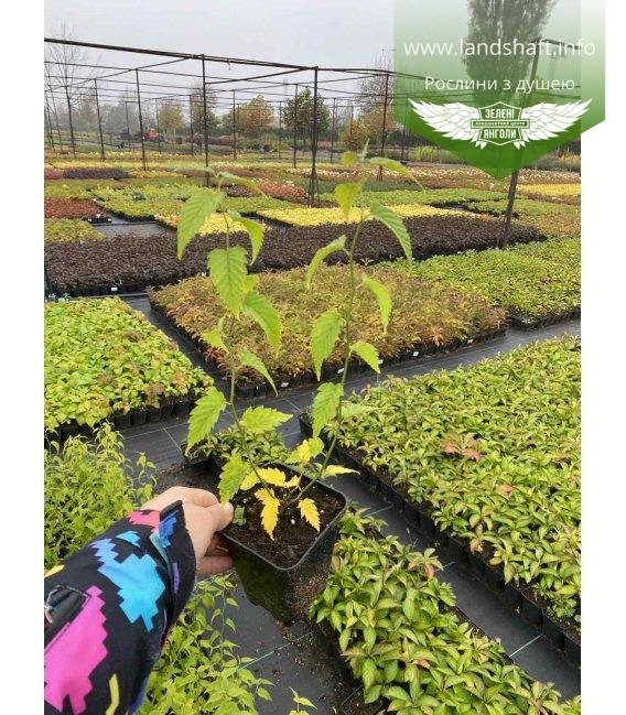 Kerria japonica pleniflora Керрия японская махровая в горшке Р9.