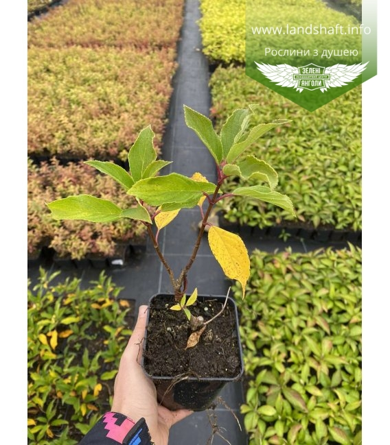 Hydrangea paniculata 'Kyushu' Гортензия метловидная 'Киушу' в горшке Р9.