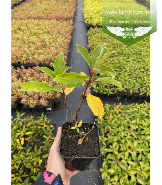 Hydrangea paniculata 'Kyushu', Гортензія волотиста 'Кіушу' в горщику Р9.
