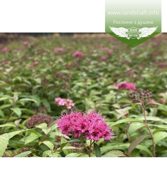 Spiraea japonica 'Anthony Waterer', Спирея японская 'Антони Ватерер' с питомника.
