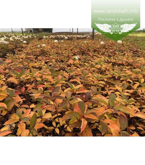 Hydrangea paniculata 'Magical Fire', Гортензія волотиста 'Меджікал Файр' з розсадника.