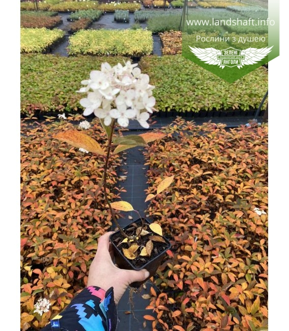 Hydrangea paniculata 'Magical Fire', Гортензія волотиста 'Меджікал Файр' в горщику Р9.