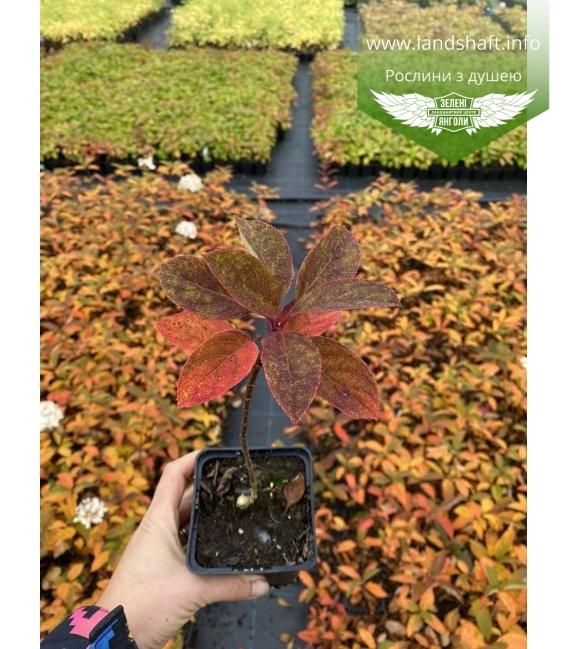 Hydrangea paniculata 'Magical Fire', Гортензія волотиста 'Меджікал Файр' в горщику Р9 з доставкою по Україні.
