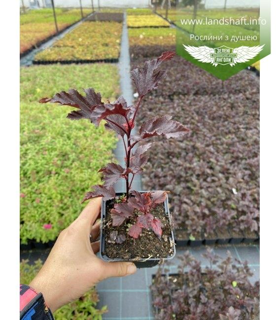 Physocarpus opulifolius 'Summer Wine' Пузыреплодник калинолистный 'Самэр Вайн' в горшке Р9.