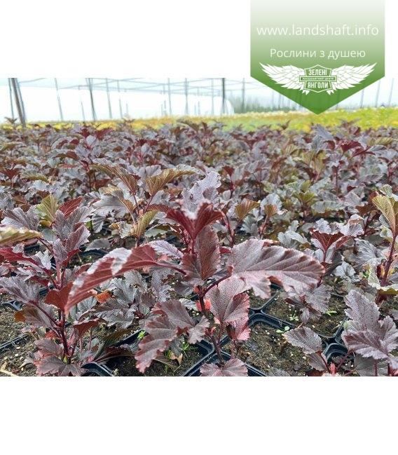 Physocarpus opulifolius 'Summer Wine', Пухироплідник калинолистий 'Самер Вайн' з розсадника.