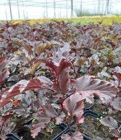 Physocarpus opulifolius 'Summer Wine' Пузыреплодник калинолистный 'Самэр Вайн' с питомника..