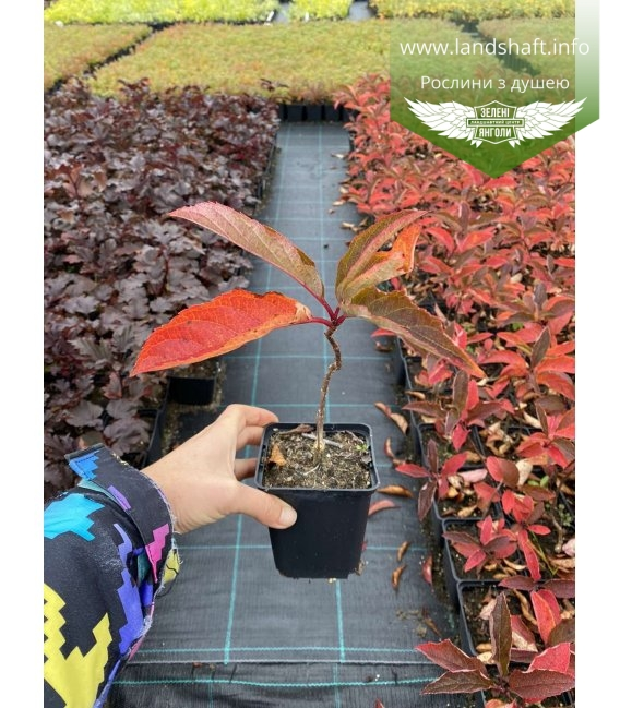 Hydrangea paniculata 'Fraise Melba', Гортензія волотиста 'Фрайз Мельба' в горщику Р9.