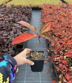 Hydrangea paniculata 'Fraise Melba', Гортензия метельчатая 'Фрайз Мельба' в горшке Р9.