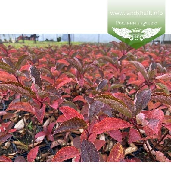 Hydrangea paniculata 'Fraise Melba', Гортензія волотиста 'Фрайз Мельба' яскраве листя восени.