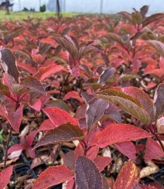 Hydrangea paniculata 'Fraise Melba', Гортензия метельчатая 'Фрайз Мельба' яркое листья осенью.