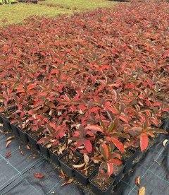 Hydrangea paniculata 'Fraise Melba', Гортензия метельчатая 'Фрайз Мельба' с питомника оптом..