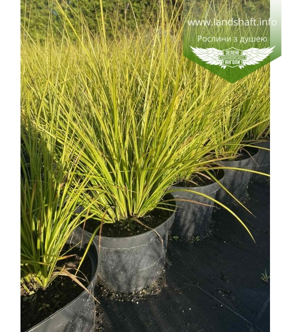 Carex brunnea 'Lady Sunshine', Осока коричнувата 'Лейді Саншайн' в горщику 2л.