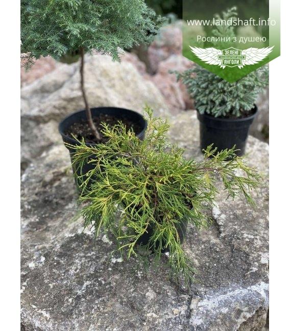 Набір хвойних рослин 'Садові пухнастики'