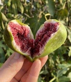 Ficus carica 'Dalmatie', Інжир Далматський плоди рослини.