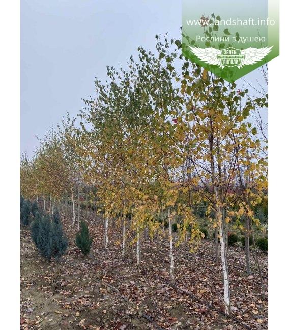Betula pendula, Береза повислая с доставкой по Украине.