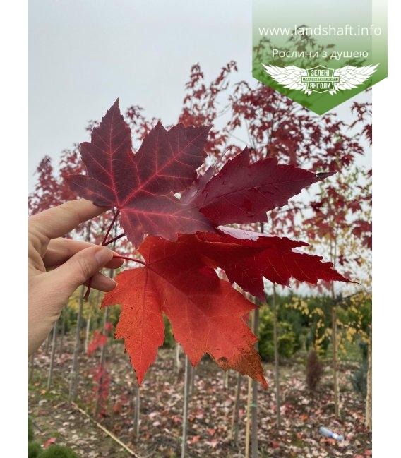 Acer x freemanii 'Autumn Fantasy', Клен Фримана 'Отм Фэнтэзи' багряные листья клена.